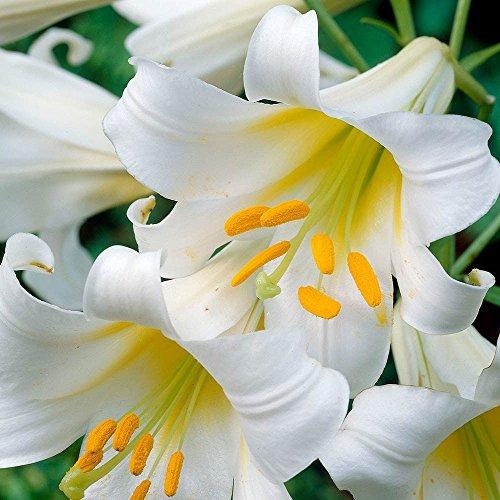 Lilium Regale Album - Lily Regale Album - 1 Blumenzwiebeln