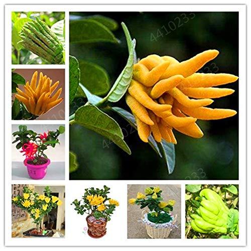 HONIC Freies Verschiffen 50 PC Bonsai Finger-Citron Bergamot Köstlicher Frucht Jinhua Bergamotte Pflanze Gemüse Bonsai Anlage für Hausgarten: Mix