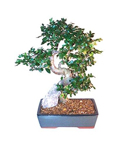 Bonsaiboy Chinese Elm Bonsai Tree - Extra Large Curved Trunk Style Ulmus Parvifolia