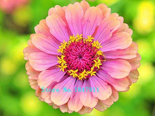 Venta grande Semillas de Zinnia elegans flor de colores hermosas decoraciones de jardín mezclan Zinnia - 100Seeds