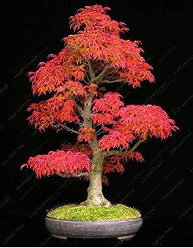 Pinkdose 20 bonsaïs/pack 100% vrai fantôme japonais Blue Tree Maple BONSAĪ Acer palmatum atropurpureum, Bonsai SOW TOUTE L'ANNEE: Violet