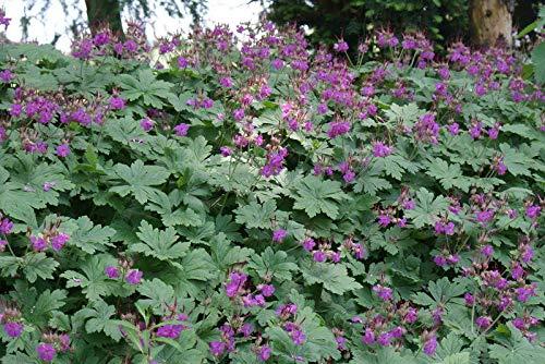 Portal Cool Fairy Blumensamen Balkan-Storchschnabel Czakor X25 Samen Hardy Stauden