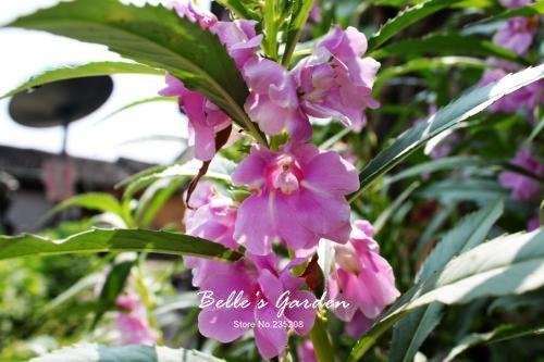 100 pcs / sac de graines de Balsamine, belle plante de fleurs Accueil Jardin Fleurs en pot semences intérieur Graines Bonsai 5