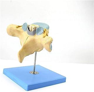 Menselijke skeletmodel thoracale wervelkolom met ruggenmerg en spinale zenuwvergrotingsmodel evenals de structuur van de D...