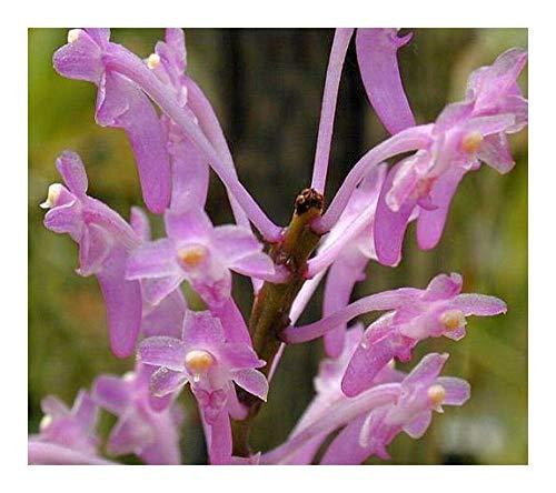 Ascocentrum rubescens - orchidées - 100 graines