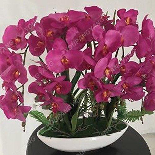 Phalaenopsis Seeds 100 pcs rares Mini orchidée Graines de fleurs pour la maison Décoration Facile Graines d'orchidée Cultivez Bonsai pour jardin kaki foncé