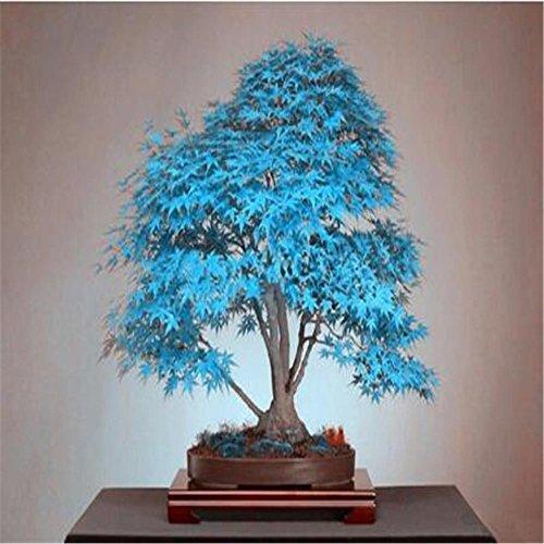 10 Bonsai blau Ahornbaum Samen Bonsai-Baum Samen. selten Himmel blau japanischen Ahornsamen Balkonpflanzen für Hausgarten