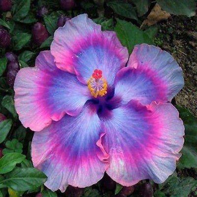 GRAINES: Real New ARRL Plantes d'intérieur Bonsai 20pcs / Lot de Exotiques Mix Couleurs rares Livraison Gratuite: 4
