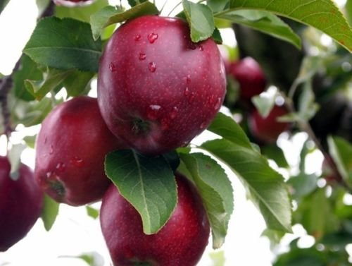 vegherb Red Delicious Apfel, Malus Pumila, 100 Baumsamen (Hardy, Fast, Essbar, Fall-Farbe)