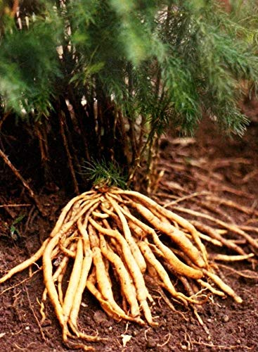 10 seeds (Wafer) Asparagus Racemosus Seeds, Shatavari Seeds,Wild Indian Asparagus