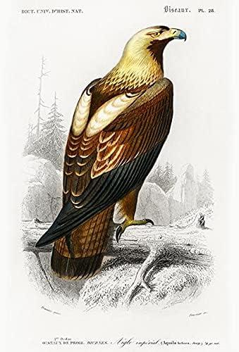 Eastern Imperial Eagle Seattle Super Special SALE held Mall Aquila Heliaca Bird 1849 Illustrati -