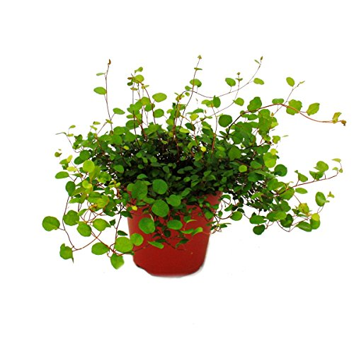Exotenherz - Zimmerpflanze - Mühlenbeckia complexa - Kiwi-Knöterich - 12cm Topf