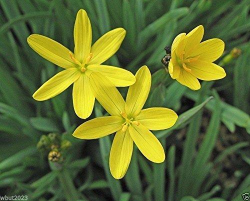 Yellow-eyed Grass(Sisyrinchium californicum) Golden-eyed Grass-25 Seed Perennial