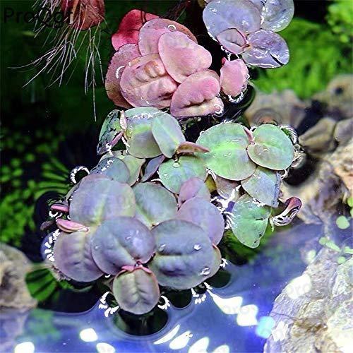 GETSO Ngryise 2Pcs EIN Set Phyllanthus fluitans Aquarium