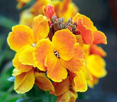 MABES WAREHOUSE English WallFlower 130 Seeds - Erysimum Cheiri, Cheiranthus Cheiri Flower Seed, Aegean WallFlower Yellow/Orange Flowers, Flower Seeds for Planting Home Garden