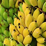 「ドワーフ・モンキーバナナの苗木(育てやすい矮性バナナ) 13.5cmポット大苗 1個売り」若木のうちから収穫できるおいしい矮性バナナ品種!!薄皮で柔らかく甘い小型バナナをご自宅で収穫できます。鉢植えでも十分楽しめます!とても実つきの良い品種で、葉数が40~50枚に成長すると開花が始まります。約80~100cmで実が成る優れもの!!自家結実性で苗1本で収穫可能です。自社農場から新鮮出荷!!【ポット苗なのでほぼ年中植付け可能!!即出荷!!】