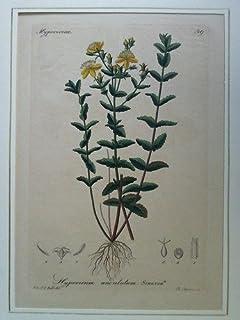 Hypericum undulatum. Schousb - Kolorierter Stahlstich, gezeichnet von L. Rohb., gestochen von Ch. Schnorr