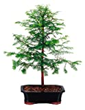 """Brussel's Live Dawn Redwood Outdoor Bonsai Tree - 5 Years Old; 16"""" to 20"""" Tall with Decorative Container"""