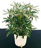 RODODENDRO VARIEGATO, RHODODENDRON, IN VASO CERAMICA BIANCO CON SPATOLATURA IN RILIEVO, pianta vera