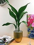 Easy Plants® Planta de hierro fundido común Aspidistra planta de mesa @ oro/maceta de cerámica plateada.