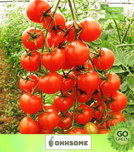 FERRY GRAINES DE Croissance Seulement Hauts Les Plantes: Non Seed Semences potagères Chery Tamaatar Graines - Tomate Cerise Graines de Seed Home Organique (20 par Paquet)?