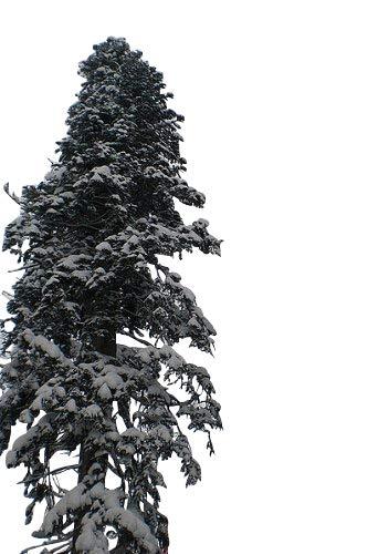 1 kg Saatgut -Nordmanntanne- (Abies nordmanniana)