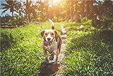Rompecabezas Rompecabezas 1000 Piezas Puzzles Beagle Adulto Caminando sobre Campo De Hierba Puzzle DIY Art