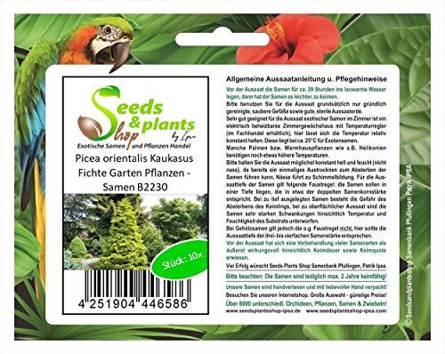 Stk - 10x Picea orientalis Kaukasus Fichte Garten Pflanzen - Samen B2230 - Seeds Plants Shop Samenbank Pfullingen Patrik Ipsa