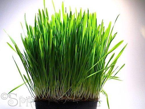 750 graines d'avoine MicroGreen Herbe