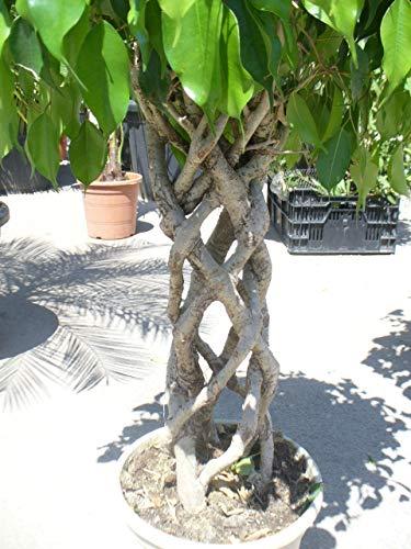 Ficus-Fantasy 2 / Fikus/Ficus Pflanze/geflochtener/runder Stamm Hinnkucker