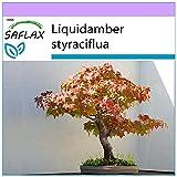 SAFLAX - Árbol del ámbar - 100 semillas - Liquidamber styraciflua