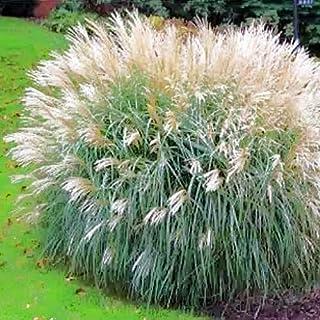 Miscanthus Sinensis Adagio Maiden Grass jocad (10 Seeds)