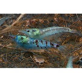 Blue Pearl Garnele (DNZ), 10 Stück