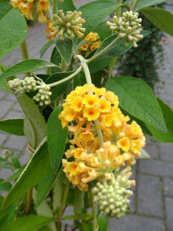 gelbbühender Schmetterlingsstrauch Buddleja Sungold 60-80 cm im 5 Liter Pflanzcontaier