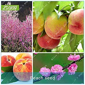 ZLKING de graines Peach Fruit Bonsai Plante naine arbres fruitiers Graines plantes exotiques Plantes vivaces populaire jardin