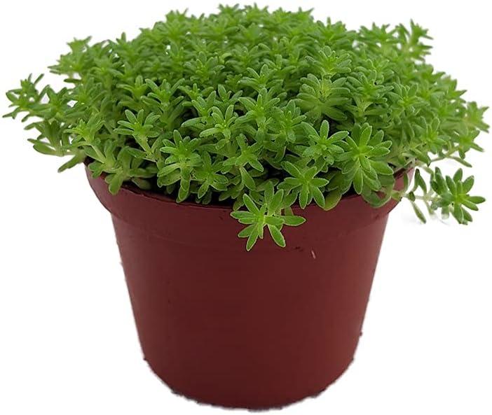 Succulent Plant Fine Green Leaf Live Direct sale of manufacturer 2. in Sedum Stonecrop Ranking TOP7