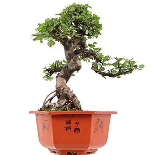 Chinesische Ulme, Bonsai, 15 Jahre, 50cm