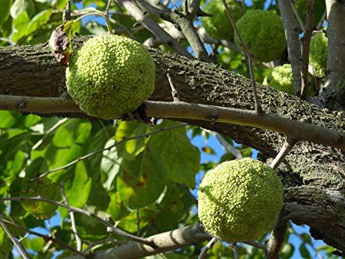 Osagedorn Maclura pomifera Pflanze 55-60cm Milchorangenbaum Osage-Orange Rarität