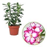 Adenium obesum   Rose du désert   Plante d'intérieur fleurie   Hauteur 30-35 cm   Pot Ø 14 cm