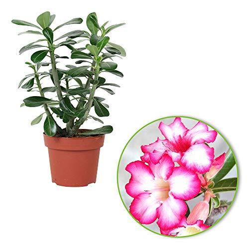 Adenium obesum | Wüstenrose | Exotische Zimmerpflanze | Höhet 30-35 cm | Topf-Ø 14 cm