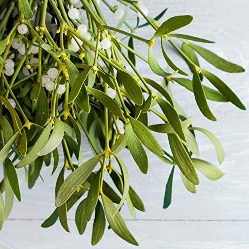Pflanzen Kölle Mistelkrone Natur XL - ca. 50 cm+ - kugelige Weihnachtspflanze - Wird traditionellerweise als Türschmuck verwendet - Gilt als Liebes-, Glücks- und Schutzsymbol