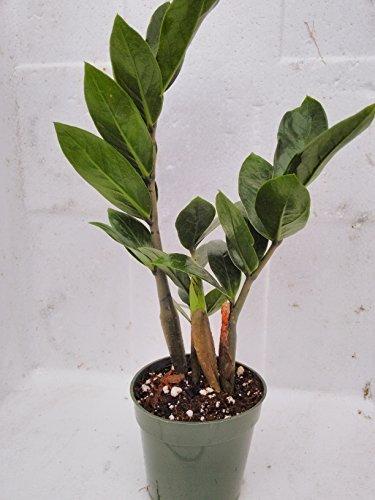 jmbamboo- ZZ Plant - Zamioculcas Zamiifolia - 4