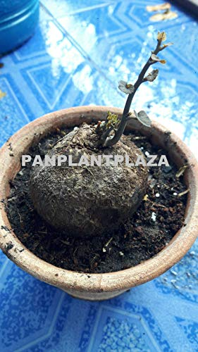 FERRY Bio-Saatgut Nicht nur Pflanzen: 2 Stephania Rare Caudex 100 Seeds BONSAIS