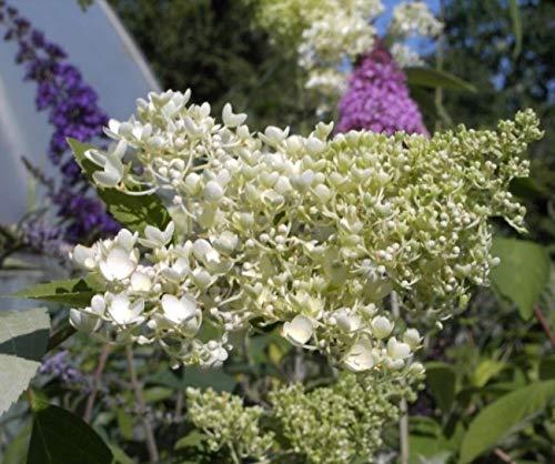 Rispenhortensie Grandiflora - Hydrangea paniculata Grandiflora