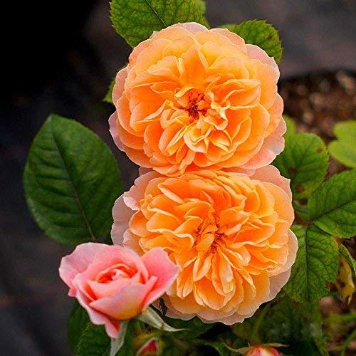 eamqrkt 100 Pzas/Juego Rosal Trepador Semillas Perenne Aromático Jardín Hogar Planta Multiflora Flor Semilla - Naranja, Small