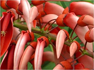 Seedeo Karibischer Korallenstrauch (Erythrina Crista-Galli)