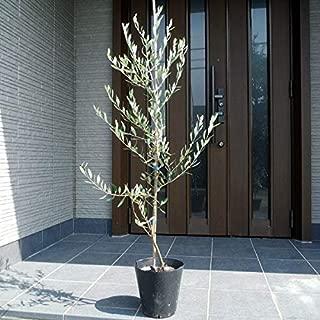 オリーブの木 苗(ルッカ) 特大7号(21cmポット) 樹高1M前後
