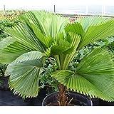 20pcs graines de palmier intérieur extérieur tropical Evergreen plantes en forme d'éventail graines vivace rustique arbres maison jardin balcon cour ornemental arbre