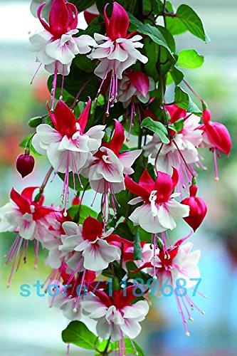 200pcs / bag Fuchsia Samen, pinkfarbene Blumen, Laterne Blume, Begonie Blumensamen, Bonsai Blumensamen, Pflanze für Hausgarten 1