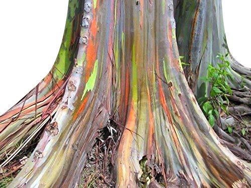 50+ Samen Regenbogen Eukalyptus - Eucalyptus deglupta -